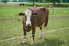 Kühe und Pferde, die draußen auf das frische grüne Gras, bewirtschaftend einziehen Lizenzfreie Stockfotografie