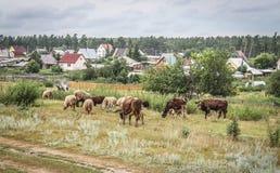 Kühe und Schafe, die im Dorf weiden lassen Lizenzfreie Stockfotografie
