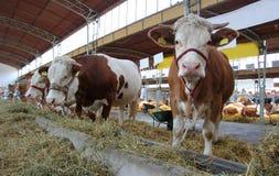Kühe und Stiere Stockfotografie