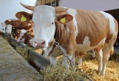 Kühe und Stiere Lizenzfreies Stockfoto