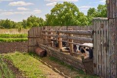 Kühe und Stiere sind in der Koppel Lizenzfreie Stockbilder