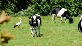 Kühe und Storch auf grüner Wiese Stockbilder