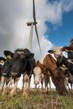 Kühe und Windturbinen Lizenzfreies Stockbild
