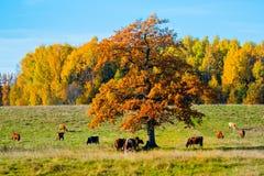 Kühe unter dem Baum Stockbild