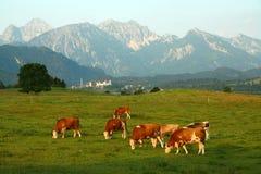 Kühe unter den Alpen Stockbilder