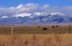Kühe unter den Sierra Lizenzfreies Stockfoto