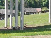 Kühe unter Landstraße lizenzfreies stockbild