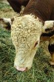 Kühe von Fleischzucht Obrak Lizenzfreies Stockbild