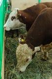 Kühe von Fleischzucht Obrak Lizenzfreies Stockfoto