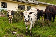 Kühe, welche die Kamera betrachten Stockfotografie
