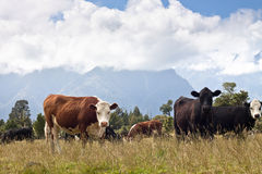 Kühe weiden lassen - Neuseeland Stockbild