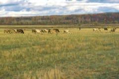 Kühe weiden lassen, Schäfer in der rustikalen Landschaft des Herbstes, schräges Feld, Wiese, auf Hintergrund des Waldsonnigen Tag Stockbild