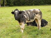 Kühe, welche die Landwirtschaft weiden lassen. Stockfoto