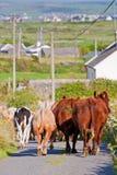 Kühe, welche die Straße in Irland blocken Lizenzfreie Stockfotos