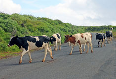 Kühe, welche die Straße kreuzen Stockfoto