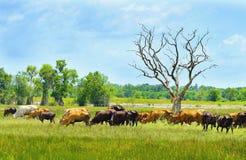 Kühe werden Erb2 zu Mittag essen Stockfoto