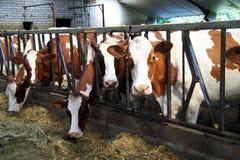 Kühe werden herein den Stall eingezogen Lizenzfreie Stockfotografie
