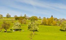 Kühe, Wiese und blühende Bäume in der Schweiz Stockbilder
