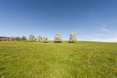 Kühe, Wiese und blühende Bäume in der Schweiz Lizenzfreies Stockbild