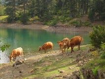 Kühe am wilden Stockfoto