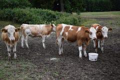 Kühe in Wurzbach Stockbild