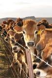 Kühe am Zaun Stockbilder