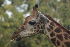 Kühlen Sie die vorangegangene Giraffe ab, die sein Lebensmittel kaut Stockfotos