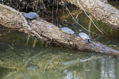Kühlende Schildkröten Stockbilder