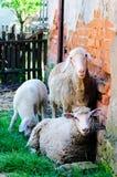 Kühlende sheeps Lizenzfreies Stockfoto