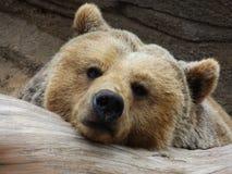 Kühlender Bär Lizenzfreies Stockfoto