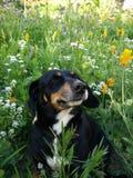 Kühlender Hund Stockfotos