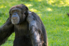 Kühlender Schimpanse Lizenzfreie Stockbilder