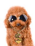 Kühler Gangsterhundepudel mit dem Bling auf einem weißen Hintergrund Lizenzfreie Stockfotos