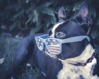 Kühler Hund, der im Schatten trägt USA-Gläser kühlt stockbild