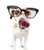 Kühler Hund mit Gläsern leckt Stockfoto