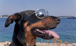 Kühler Hund mit Sonnenbrillen Stockfoto