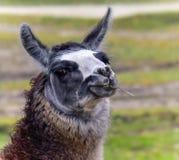 Kühles Lama mit einem Stroh Lizenzfreies Stockfoto