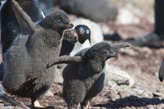 Küken der Adelie-Pinguine Stockbild