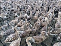 Küken des Flamingos Stockfotografie