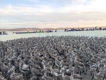 Küken des Flamingos stieg Lizenzfreie Stockfotografie