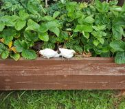 Küken im Erdbeerbusch Stockfotos