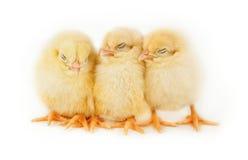 Küken Schlafens Ostern stockfotos