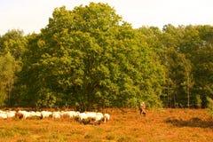 Kümmern Sie sich um den sheeps Stockfoto