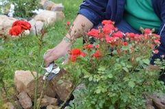 Kümmern von  um schönen roten Rosen lizenzfreie stockbilder