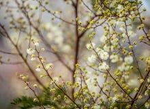 Künstlerisch unscharfes Bild von weißen Akazien-Blumen stockbild