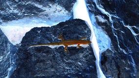 Künstlerische dunkelrote Eidechse auf den dunkelblauen Flusssteinen negativ lizenzfreie stockfotografie