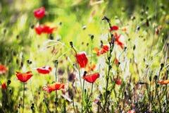 Künstlerische Hintergrundschaffung einer Wiese mit Mohnblumenblumen stockfoto