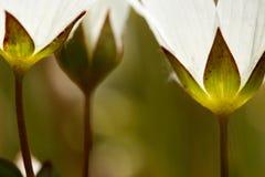 Künstlerische Nahaufnahme von wilden Blumen weißes meadowfoam Limnanthes alba mit glühenden Kelchblättern stockbilder