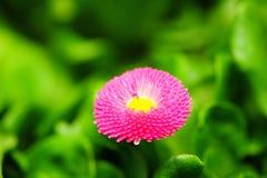 Künstlerischer Schuss der purpurroten Blume Lizenzfreie Stockbilder