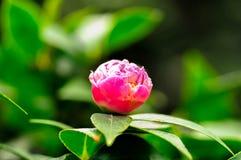 Künstlerischer Schuss der purpurroten Blume Stockfoto